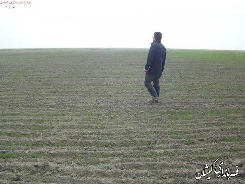 سطح زیر کشت محصولات کشاورزی در گمیشان 10درصد افزایش یافت