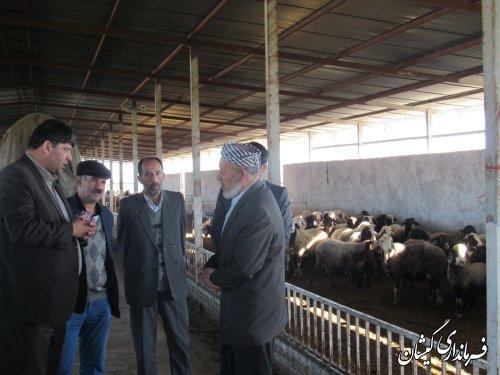 بازدید فرماندار گمیشان از مجتمع پرورش گوسفند محلی